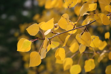 Bright yellow aspen leaves fall foliage