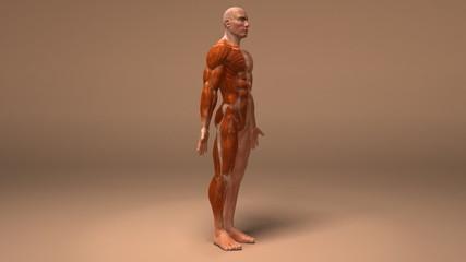 Anatomie et systeme musculaire (couche alpha)
