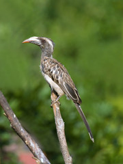 Rare image of African Grey Hornbill in suburbia