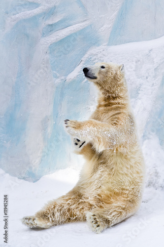 Papiers peints Ours Blanc Polar bear in Zoo
