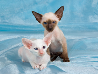 Two cute Siamese Oriental kittens on shiny blue fabric