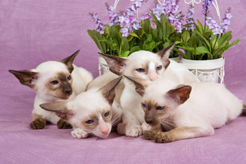 Group of cute pretty Siamese Oriental kittens with flowers