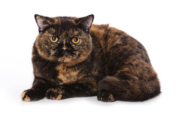 British cat on white background