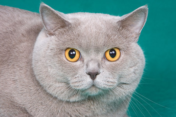 British cat on green background