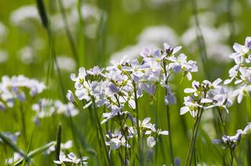 flowering lady's smock