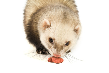 Ferret isolated on a white background eating