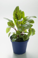 sorrel in pot