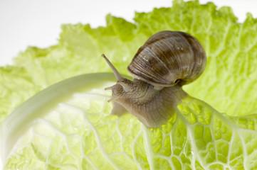 snail on lettuce leaf
