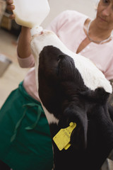 woman feeding calf with milk from a bottle