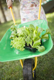 child pushing wheelbarrow containing lettuce & basil plants
