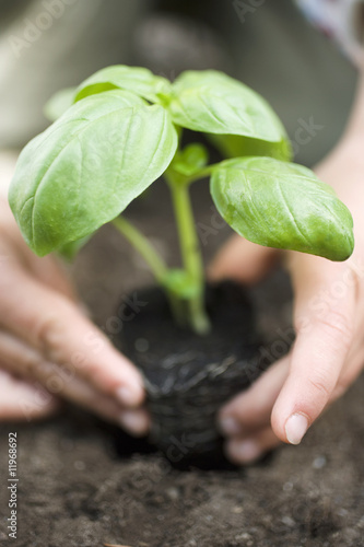 planting basil in soil