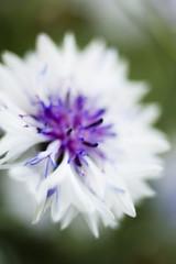 white cornflower (centaurea)