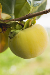 kaki persimmon on the branch