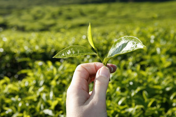 tea leaves on a tea plantation (cameron highlands, malaysia)