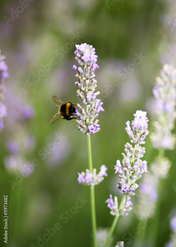 lavender flowers with a bee