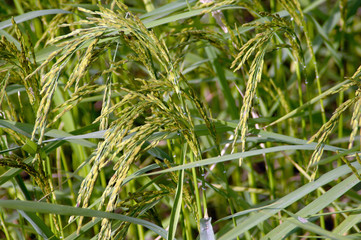 rice plant in the field