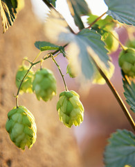 hops on the bine (humulus lupulus)