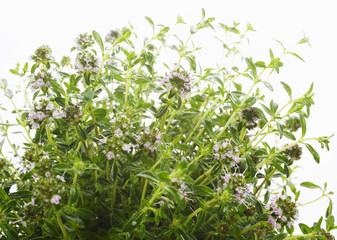 thyme (close-up)