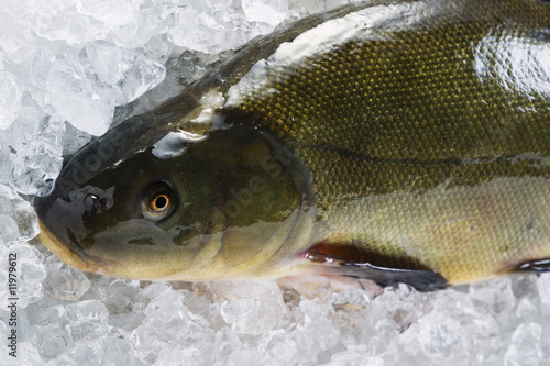 fresh tench on ice