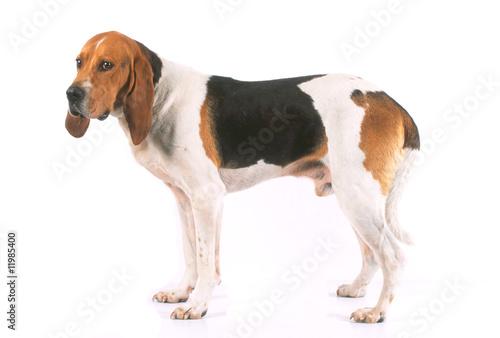 Papiers peints Chien la pose de profil pour le chien d'artois en studio