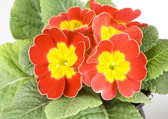 Primula rossa e gialla