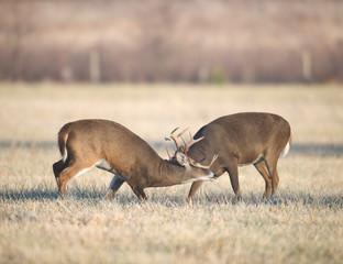 Two bucks fighting
