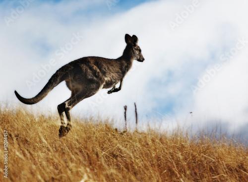 Fotobehang Kangoeroe Kangaroo