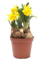 Tre bulbi di narciso nel vaso, isolato