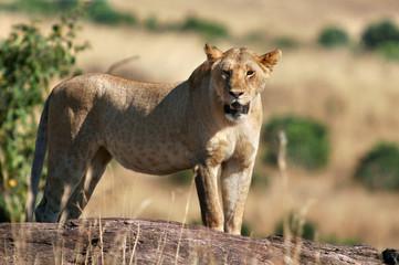 Lioness (Panthera leo).