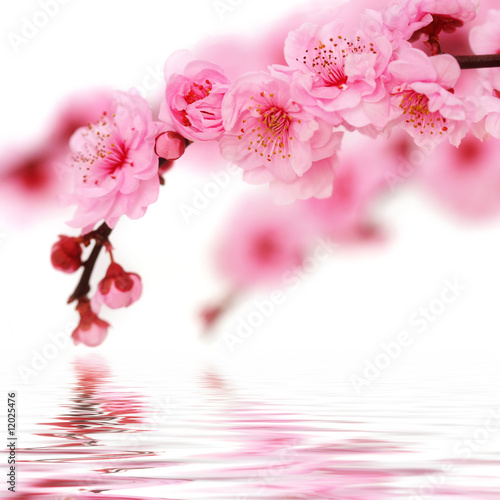 Plexiglas Kersen Spring cherry flowers reflected in rendered water