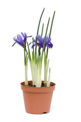 Iris in a pot, isolated