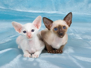 Pretty cute Siamese kittens on blue fabric background