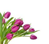 Fototapety purple tulips on a white background