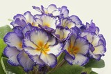 pretty lila ,yellow and white coloured primrose flowers poster