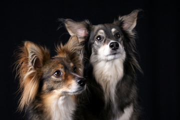 Attentive Dogs