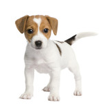 Puppy Jack russell (7 weeks) poster