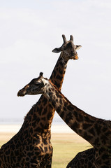 Family of Giraffe - African mammal