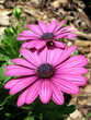 Purple Osteospermum Daisy close-up