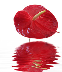 Anthurium isolated on white