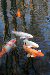 Carps in a pond
