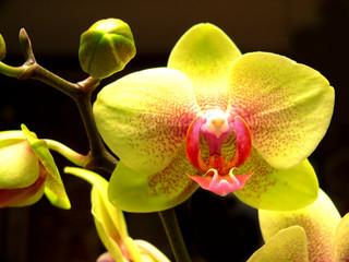 Orchidee-gelb-1