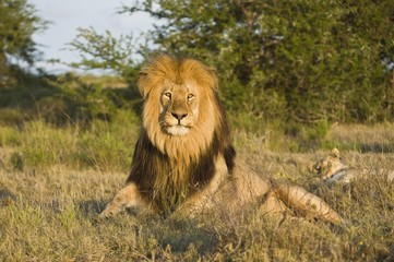 The late afternoon sun catches the lions eyes