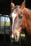 portrait of a young horse with beautiful eyes / ranch poster