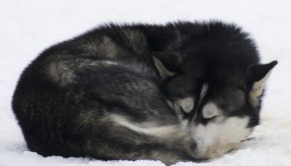 Husky schlafend