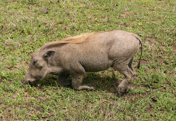The warthog - wild member of the pig family that lives in Africa