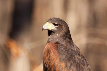 Harris Hawk Profile