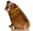 english bulldog sitting with back turned towards the camera