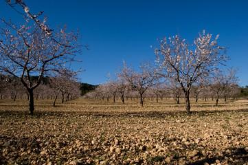 Almond trees flowering