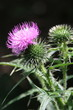 Blooming thistle on the dark background