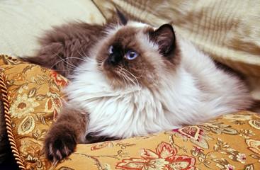 Persian Himalayan Cat